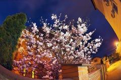 Κομψά λουλούδια magnolia Στοκ Εικόνες