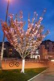Κομψά λουλούδια sakura Στοκ Εικόνες