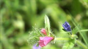 Κομψά ρόδινα και μπλε φρέσκα λουλούδια που κυματίζουν στο αεράκι απόθεμα βίντεο