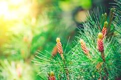 Κομψές ερυθρελάτες κέδρων πεύκων στις πράσινες βελόνες πάρκων Στοκ Εικόνες