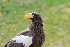 Κομψή άγρια φαλακρή εμπειρία πετάγματος αετών στοκ φωτογραφίες με δικαίωμα ελεύθερης χρήσης