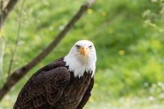 Κομψή άγρια φαλακρή εμπειρία πετάγματος αετών στοκ εικόνα