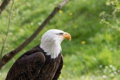 Κομψή άγρια φαλακρή εμπειρία πετάγματος αετών στοκ εικόνες