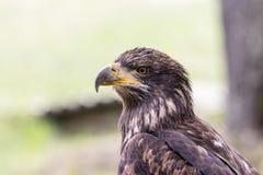 Κομψή άγρια φαλακρή εμπειρία πετάγματος αετών στοκ φωτογραφία με δικαίωμα ελεύθερης χρήσης