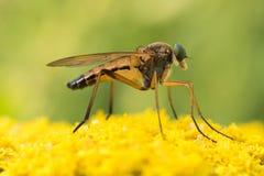 Κομψή τοποθέτηση κουνουπιών σε μερικά κίτρινα λουλούδια Στοκ Εικόνες