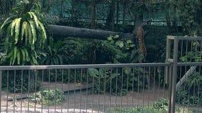 Κομψοί ισχυροί περίπατοι τιγρών υπερήφανα στη δροσερή σκιά στο ζωολογικό κήπο φιλμ μικρού μήκους