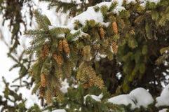 Κομψοί κλάδοι με τους κώνους κάτω από το χιόνι στο χειμερινό δάσος Στοκ φωτογραφία με δικαίωμα ελεύθερης χρήσης