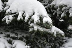 Κομψοί κλάδοι με το χιόνι Στοκ φωτογραφία με δικαίωμα ελεύθερης χρήσης