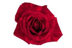 κομψός κόκκινος αυξήθηκ&epsi Στοκ φωτογραφία με δικαίωμα ελεύθερης χρήσης