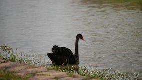 Κομψός μαύρος κύκνος που περπατά στον ποταμό και που κολυμπά μακριά, 4k, σε αργή κίνηση απόθεμα βίντεο