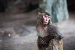 Κομψός πίθηκος Στοκ Εικόνες