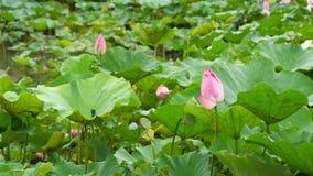 Κομψός ρόδινος λωτός φύσης στο βοτανικό κήπο της Ταϊβάν Ταϊπέι φιλμ μικρού μήκους