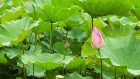 Κομψός ρόδινος λωτός φύσης στο βοτανικό κήπο της Ταϊβάν Ταϊπέι απόθεμα βίντεο