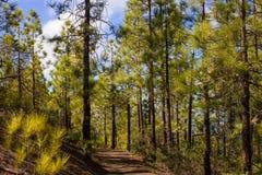 Κομψό δασικό βιώσιμο σαφές οικοσύστημα Canariensis πεύκων, πεύκο Κανάριων νησιών Στοκ φωτογραφία με δικαίωμα ελεύθερης χρήσης