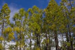 Κομψό δασικό βιώσιμο σαφές οικοσύστημα Canariensis πεύκων, πεύκο Κανάριων νησιών Στοκ Εικόνες