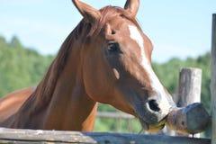 κομψό επικεφαλής άλογο Στοκ εικόνα με δικαίωμα ελεύθερης χρήσης