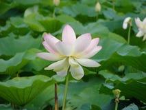 Κομψό λουλούδι Lotus στοκ εικόνες