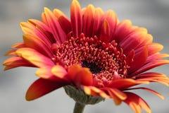 Κομψό λουλούδι gerbera Στοκ Φωτογραφία