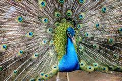 Κομψό peacock Στοκ Εικόνες