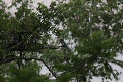 Κομψό Trogon Στοκ φωτογραφία με δικαίωμα ελεύθερης χρήσης