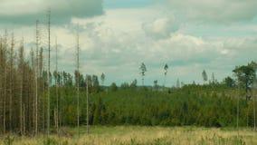 Κομψό typographus διεθνών ειδησεογραφικών πρακτορείων παρασίτων κανθάρων φλοιών, κομψή μολυσμένη δάση ξηρασία, που επιτίθεται από φιλμ μικρού μήκους