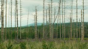 Κομψό typographus διεθνών ειδησεογραφικών πρακτορείων παρασίτων κανθάρων φλοιών, κομψή μολυσμένη δάση ξηρασία, που επιτίθεται από απόθεμα βίντεο