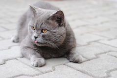 Κοντή βρετανική γάτα τρίχας Στοκ Εικόνες
