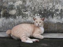 Κοντή γάτα ουρών στη Κουάλα Λουμπούρ Μαλαισία Στοκ φωτογραφίες με δικαίωμα ελεύθερης χρήσης