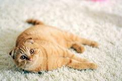 Κοντή redhead γάτα τρίχας scottishfold Στοκ φωτογραφία με δικαίωμα ελεύθερης χρήσης