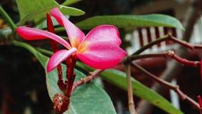 Κοντινό θέρετρο λουλουδιών Frangipani που κινείται από το ωκεάνιο αεράκι απόθεμα βίντεο