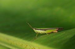 Κοντός-κερασφόρο grasshopper Στοκ εικόνες με δικαίωμα ελεύθερης χρήσης
