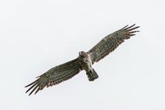 Κοντός-ο αετός που πετά στο συννεφιάζω ουρανό Στοκ φωτογραφία με δικαίωμα ελεύθερης χρήσης