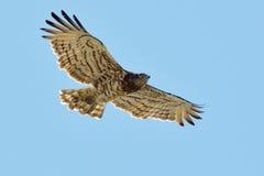 Κοντός-ο αετός φιδιών (gallicus Circaetus) Στοκ Εικόνες