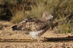 Κοντός-ο αετός, gallicus Circaetus Στοκ εικόνες με δικαίωμα ελεύθερης χρήσης