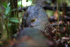 Κοντός-παρακολουθημένος φλύαρος Στοκ Εικόνες