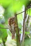 Κοντός-παρακολουθημένος frogmouth ή Sumatran frogmouth Στοκ Φωτογραφία