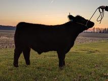 Κοντός ταύρος κέρατων στοκ φωτογραφίες με δικαίωμα ελεύθερης χρήσης