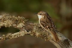 Κοντός-το brachydactyla Treecreeper - Certhia Στοκ Εικόνες
