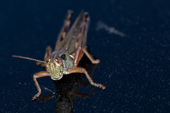 Κοντός-φτερωτό πράσινο Grasshopper θηλυκό Στοκ εικόνα με δικαίωμα ελεύθερης χρήσης