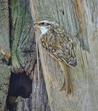 Κοντός-treecreeper Στοκ εικόνα με δικαίωμα ελεύθερης χρήσης