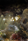Κοντόχοντρες γαρίδες, νησί Mabul, Sabah Στοκ Φωτογραφίες