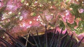 Κοντόχοντρος αστακός αραχνών κοντά στις σπονδυλικές στήλες θάλασσας urchon φιλμ μικρού μήκους