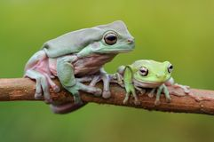 Κοντόχοντρος βάτραχος δέντρων στοκ φωτογραφίες