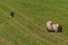 Κοπάδια σκυλιών αποθεμάτων στην ομάδα προβάτων Ovis aries Στοκ Φωτογραφίες