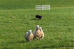 Κοπάδια σκυλιών προβάτων στα πρόβατα &#x28 Ovis aries&#x29  Στοκ φωτογραφία με δικαίωμα ελεύθερης χρήσης