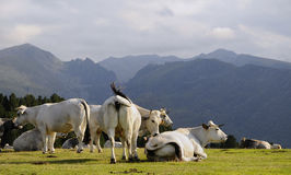 κοπάδι αγελάδων Στοκ Εικόνες