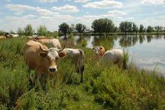 κοπάδι αγελάδων Στοκ φωτογραφίες με δικαίωμα ελεύθερης χρήσης