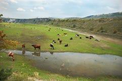 κοπάδι αγελάδων Στοκ Φωτογραφία