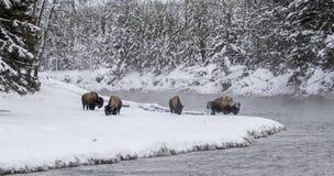 Κοπάδι βισώνων στη χιονώδη κάμψη στο δασικό ποταμό yellowstone Στοκ εικόνα με δικαίωμα ελεύθερης χρήσης
