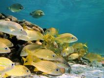κοπάδι γρυλίσματος ψαριών Στοκ φωτογραφία με δικαίωμα ελεύθερης χρήσης